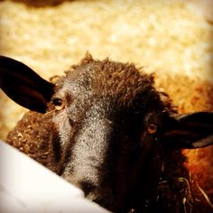 Joey our Rodeau-Charlet cross sheep. Our first born to our farm. He is quite a special guy.