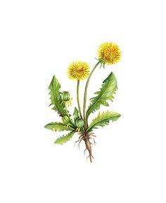 botanical flower prints | Dandelion Floral Botanical Print