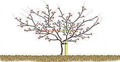 Apples and pears: winter pruning/RHS Gardening pruning diagram for a mature tip bearing apple tree Apple Tree, Edible Landscaping, Pruning Fruit Trees, Plants, Tree, Grape Vines, Vegetable Garden, Tree Pruning, Flowers