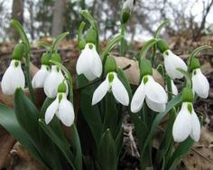 "Snowdrop fanatic David L. Culp—he has the second-largest collection in the country!—talks about this winter-blooming bulb, saying that ""Anything that blooms against the odds has a place in my heart."" Plus: His favorite plant pairings for the Giant Snowdrop."