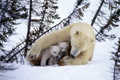 Polar Bear Mother and Cubs | polar bear mothers like this one in manitoba stay with their cubs for ...