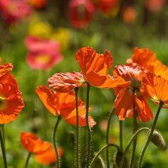 #Red #Orange #popies #florals #flower #flowerslovers #flowers  #flowers #flower #petal #petals #nature #beautiful #love #pretty #plants #blossom #sopretty #spring  #flowerslovers #botanical #floral #florals #insta_pick_blossom #flowermagic  #bloom #poppy #botanical #floweroftheday #picphotographer.