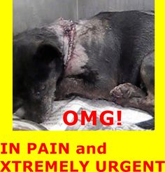 SEVERE LACERATION ON NECK WITH SPINAL CORD EXPOSED.  HAS MULTIPLE BITE WOUNDS. PLEDGES AND RESCUE NEEDED! A4789469 I don't have a name yet and I'm an approximately 8 year old female chihuahua sh at Downey Animal Care Center. You can visit me at my temporary home at D710. https://www.facebook.com/photo.php?fbid=793729494040718&set=pb.100002110236304.-2207520000.1420833365.&type=3&theater