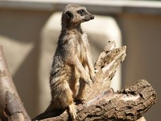 Meerkat in Blackpool Zoo