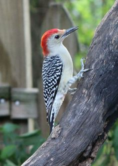 Woodpecker to