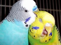 Parakeets lololol don't tell me birds have no emotions lolololol I raise them, they certainly do!.. I RAISE THEM TOO AND THEY ARE QUITE  THE  CURIOUS AND FUNNY BIRD !