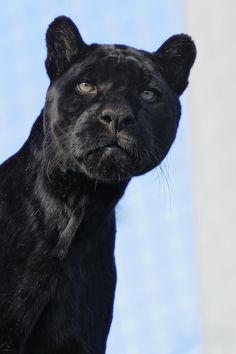 Cloud be a jaguar or a leopard or a mountain lion. Each species has a recessive gene that is called 'melanistic'. This makes the coat black, but also changes the physiology a little.