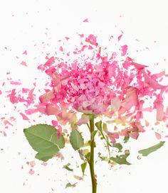 Exploding Pink Rose