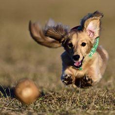 . . . 🐶〈🐻lock-on!! . . . .  #テトちゃん#愛犬#犬#dog#ミニチュア#カニンヘン#ダックス#ダックスフンド#ダックス#dachshund#犬バカ部#飛び犬#飛行犬#流し撮り#flyingdog#ig_dogphoto#kaumo#my_loving_pet#bestfriends_dogs#bestphotogram_dogs#cutepetclub#dachshundsofinstagram#miniaturedachshund#todayswanko#わんこなしでは生きていけません会#nikontop#ファインダー越しの私の世界#写真好きな人と繋がりたい