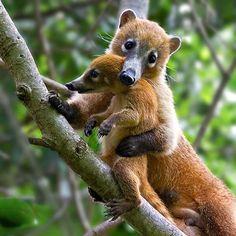 Meet the Coati-- it's like a South American Raccoon!