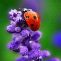 Ladybug on a lilac branch