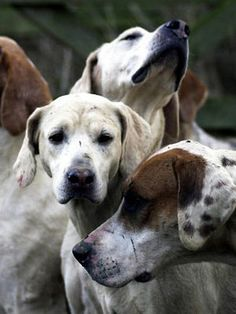 Foxhounds...