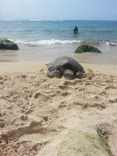 Turtles in Hawaii Sea Turtle Nest, Turtle Beach, Turtle Love, Kinds Of Turtles, Cute Turtles, Sea Turtles, Turtle Spirit Animal, Summer Sunset, Tortoises
