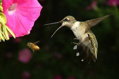 Ruby-throated hummingbird -- race for the flower :o)