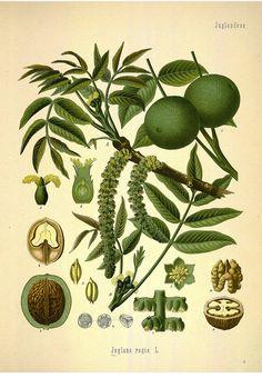 Walnut tree. Kohler's Medizinal-Pflanzen band.1 (1887)