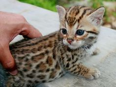 See more Little Bengal cat