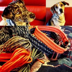 In preparation for our upcoming arctic hare hunt, Alisha Collins is outfitting Sako and Aussie with some new collars, man and dog working side by side to achieve one goal, a successful hunt! Arctic Hare, Man And Dog, Survival Tools, Paracord, Collars, Goal, Hunting, Outdoors, Projects