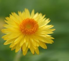 48 best yellow flowers images on pinterest yellow flowers floral this is such a cute flower mightylinksfo