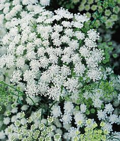 'Ammi Majus' Queen Anne's Lace  is a refined look-alike and distant relative of the common wildflower.