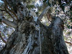 Find Giant Trees Giant Tree, Tasmania, Trees, Plants, Tree Structure, Plant, Wood, Planets