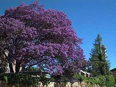 one day i'll have this tree in my front yard, just wait and see {jacaranda tree - josh garrels}