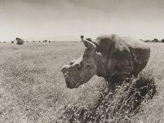 Fatu, a Northern white rhino, by Ian Aitken.