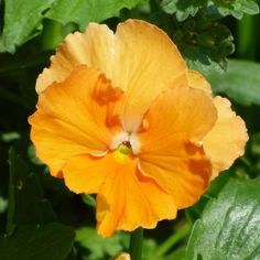 Orange pansy - #pansies are a great cool weather #plant for adding #fall or late #winter, early #spring color. For even more high impact, look for bright colors like this tangerine-orange #pansy.