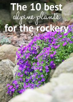 Top plants for an alpine rock garden - David Domoney The 10 best alpine plants for the rockery. Choose these low-growing and drought-tolerant alpine plants for a rock garden full of flower colour Rockery Garden, Rock Garden Plants, Garden Shrubs, Plants For Ponds, Shade Garden, Flowering Shrubs, Growing Plants, Alpine Garden, Alpine Plants