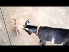 Котёнок против козы Прикол! - http://videonotes.ru/xit-prikolov/kotyonok-protiv-kozy-prikol.html