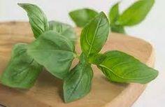 Khasiat Tanaman Obat Herbal : Fakta Lucu Konsumsi Daun Kemangi (Ocimum sanctum) yang Berlebihan