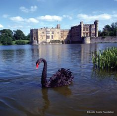 Black Swan at Leeds Castle, Kent. England. Leeds really is one of the most beautiful castles. Built in 1119 it came into the hands of King Edward I for whom it became a favourite residence, in the 16th century Henry VIII used it as a residence for his first wife, Catherine of Aragon.