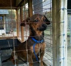 Charlie Brown is an adoptable Chihuahua Dog in Scranton, PA. Sweet Charlie Brown is a little, owner-surrendered, tri-colored chihuahua mix, who was recently rescued from a high-kill shelter. He is a l...