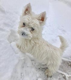 Learn more details on Take a look at our internet site. Westies, Westie Puppies, Tiny Puppies, Cute Puppies, Chihuahua Dogs, West Highland Terrier, Australian Shepherds, Scottish Terrier, Pet Dogs