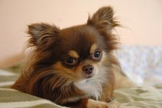 What a beautiful sweet baby chihuahua. :) More