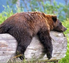 A grizzly bear lying on a log