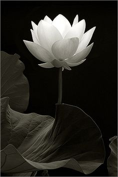Lotus_Flower_IMG_1751-1-bw | Flickr - Photo Sharing!