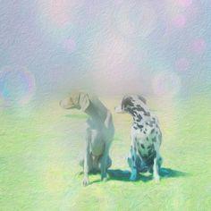 虹の橋って知ってますか?きっと素敵な場所なんでしょうね✨Do you know the rainbow bridge? That'll be the wonderful place more than we know. #dogs #Weimaraner #dalmatian #lovedogs #pets #my dog #mylove #愛犬 #ワイマラナー #ダルメシアン #ペット #大好き #老犬 #愛 #家族 #rainbowbridge #rainbow #虹の橋