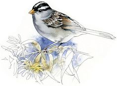 Whitecrowned Sparrow watercolour bird art by RobManciniImages