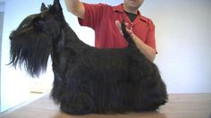 PELUQUERÍA CANINA SCOTTISH TERRIER - GROOMING - HAND STRIPPING