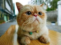 orange-exotic-shorthair-cat-breed Tap the link for an awesome selection cat and kitten products for your feline companion!