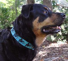 "Zander wearing Pet Necklace ""Soar Like a Butterfly"" Design Dog Collar in bright aqua with black and peacock thread."