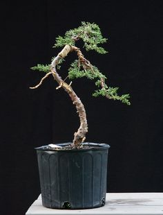 Flickriver: OpenEye's photos tagged with bonsai