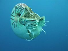 Nautiluses:  Nautiluses are cephalopods, like squid and octopus, and have changed little in 500 million years. They have up to 90 retractable tentacles in two circles and are also the only cephalopod whose bony skeleton is a shell rather than internal.