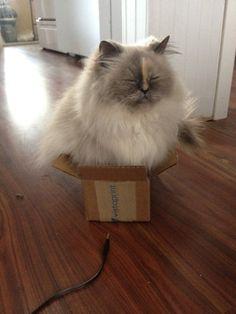 Perché I Gatti Amano Mettersi Nelle Scatole?