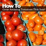 How To Grow Amazing Tomatoes This Year!