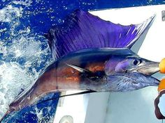 Sailfish wanna catch one of these one day