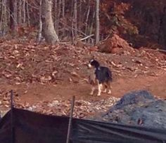 #Founddog 11-19-14 #MineralSprings #NC #AustralianShepherd PATTY BOOKER AUSTRALIAN SHEPHERDS LOST AND FOUND USA https://www.facebook.com/AustralianShepherdsLostAndFoundUsa/posts/643556915752777