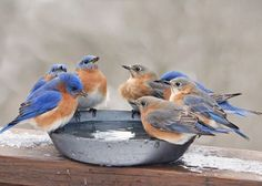 Eastern bluebirds having a meeting around the water cooler. :)                                                                                                                                                                                 More