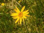 Dossier Huile d'arnica - Arnica montana - Propriétés, utilisations, recettes santé et bien-être