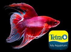 Originally from Southeast Asia, for short periods can breathe air using their labyrinth organ. One of the most popular Betta fish breeds, Veiltail Bettas are known for their long, spectacular fins and bright colors. New hobbyists usually start with Veiltails due to their easygoing nature.  Freshwater Top Feeder Skill Level: Great beginner fish Daily Diet: BettaMin® Flake Medley Supplement: Tetra® Betta Floating Mini Pellets Treats: TetraBetta™ Worm Shaped Bites   Visit tetra-fish.com Tetra Fish, Aquarium Set, Aquarium Maintenance, Fish Breeding, All Fish, Beautiful Fish, Cichlids, Colorful Fish, Freshwater Fish